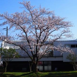 外観北/北側の公園内から見た桜本邸。見事な桜の木が建物のちょうど中央に来るよう計算されており、贅沢な借景を楽しめる