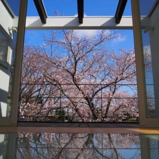 2階居間、花見テラス/大胆な開口で、満開の桜と青い空が視界を埋め尽くす。自宅でこの眺めを得られるのは大きな魅力。景色を損なわないよう、カーテンはつけていない